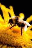 μέλισσα bumble στοκ εικόνα με δικαίωμα ελεύθερης χρήσης