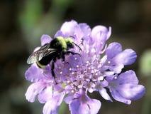 μέλισσα bumble Στοκ Φωτογραφίες