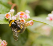 μέλισσα bumble Στοκ Εικόνα