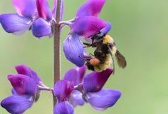 Μέλισσα Bumble Sonoran Στοκ Εικόνες