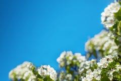 Μέλισσα floret Ευχετήρια κάρτα πλαισίων άνοιξη Στοκ φωτογραφία με δικαίωμα ελεύθερης χρήσης