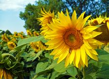 Μέλισσα Honney στον ηλίανθο θερινό floral φυσικό υπόβαθρο Στοκ φωτογραφία με δικαίωμα ελεύθερης χρήσης