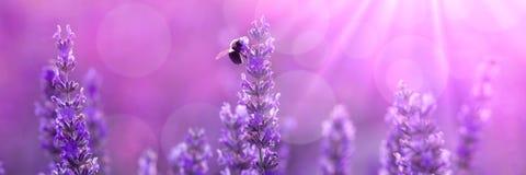 Μέλισσα lavender στοκ φωτογραφίες με δικαίωμα ελεύθερης χρήσης