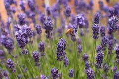 Μέλισσα lavender Στοκ Φωτογραφία