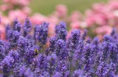 Μέλισσα lavenders στοκ εικόνα