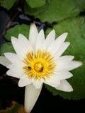 Μέλισσα Lotus Στοκ Εικόνες