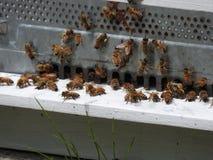Μέλισσες έξω από την κυψέλη Στοκ Εικόνες