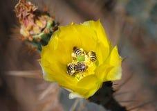 μέλισσες απασχολημένες Στοκ φωτογραφίες με δικαίωμα ελεύθερης χρήσης