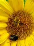 μέλισσες δύο στοκ εικόνα