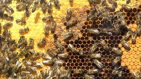 Μέλισσες κηφήνων μέσα σε μια κυψέλη απόθεμα βίντεο