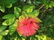 Μέλισσες μελιού και κόκκινο λουλούδι Στοκ εικόνα με δικαίωμα ελεύθερης χρήσης