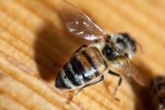 Μέλισσες που απασχολούνται στην Καρπάθια κινηματογράφηση σε πρώτο πλάνο φυλής Στοκ Φωτογραφία