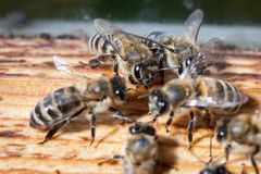 Μέλισσες που απασχολούνται στην Καρπάθια κινηματογράφηση σε πρώτο πλάνο φυλής Στοκ φωτογραφίες με δικαίωμα ελεύθερης χρήσης