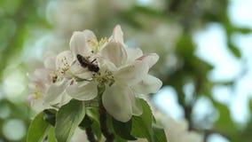 Μέλισσες που επικονιάζουν τα λουλούδια άνοιξη απόθεμα βίντεο