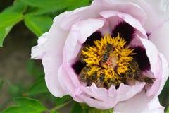 μέλισσες που συλλέγο&upsilo Στοκ Εικόνες