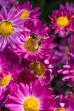 Μέλισσες που ταΐζουν με τα λουλούδια Στοκ εικόνα με δικαίωμα ελεύθερης χρήσης