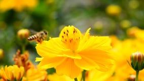 Μέλισσες που τρώνε τη γύρη απόθεμα βίντεο