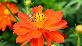 Μέλισσες που τρώνε τη γύρη φιλμ μικρού μήκους