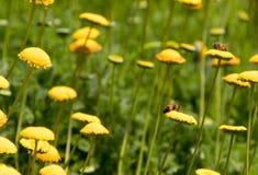 Μέλισσες στα κίτρινα λουλούδια στοκ εικόνες με δικαίωμα ελεύθερης χρήσης