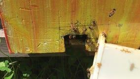 Μέλισσες στην είσοδο της κυψέλης απόθεμα βίντεο