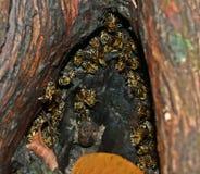 Μέλισσες στο δέντρο κοίλο Στοκ φωτογραφία με δικαίωμα ελεύθερης χρήσης