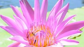 μέλισσες στο λωτό φιλμ μικρού μήκους
