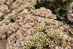 Μέλισσες στο telephium Sedum 'Matrona' Στοκ Φωτογραφίες