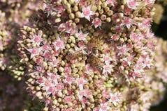Μέλισσες στο telephium Sedum 'Matrona' Στοκ φωτογραφίες με δικαίωμα ελεύθερης χρήσης