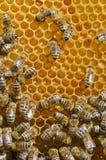 μέλισσες χτενών Στοκ Φωτογραφία