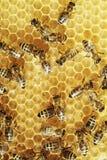μέλισσες χτενών Στοκ εικόνα με δικαίωμα ελεύθερης χρήσης