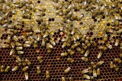 μέλισσες Στοκ εικόνες με δικαίωμα ελεύθερης χρήσης