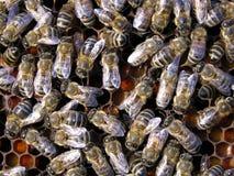 μέλισσες Στοκ φωτογραφία με δικαίωμα ελεύθερης χρήσης