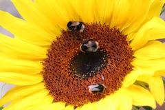 Μέλισσες Bumlbe στοκ φωτογραφία με δικαίωμα ελεύθερης χρήσης