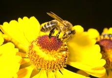 μέλι λουλουδιών μελισ&sigm Στοκ εικόνες με δικαίωμα ελεύθερης χρήσης