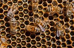 μέλι μελισσών Στοκ εικόνα με δικαίωμα ελεύθερης χρήσης