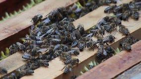 μέλι οικογενειακών κυψελών μελισσών απόθεμα βίντεο
