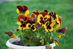 Μέρα και νύχτα όμορφα λουλούδια & x28 Viola tricolor& x29  στοκ φωτογραφία με δικαίωμα ελεύθερης χρήσης
