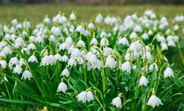 Μέρη των άσπρων ελατήριο-ανθίζοντας λουλουδιών snowflake άνοιξη του vernum Leucojum Στοκ φωτογραφία με δικαίωμα ελεύθερης χρήσης