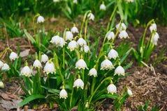 Μέρη των άσπρων ελατήριο-ανθίζοντας λουλουδιών snowflake άνοιξη του vernum Leucojum Στοκ Εικόνες