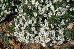 Μέρη των άσπρων λουλουδιών του dumosum Symphyotrichum στοκ εικόνες