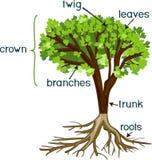 Μέρη των εγκαταστάσεων Μορφολογία του δέντρου με την πράσινη κορώνα, το σύστημα ρίζας, και τους τίτλους απεικόνιση αποθεμάτων