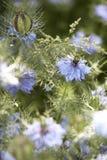 Μέρη των λουλουδιών damascena nigella Στοκ Εικόνα