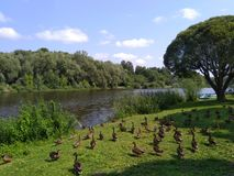 Μέρη των παπιών που περπατούν στο πάρκο στοκ φωτογραφία με δικαίωμα ελεύθερης χρήσης