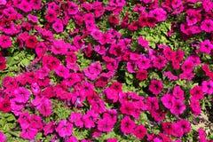 Μέρη χρωματισμένων των ροδανιλίνη λουλουδιών της πετούνιας στοκ εικόνα