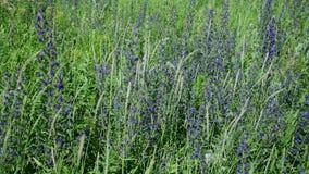 Μέρος της άνθισης Salvia Superba κοντά επάνω σε ένα άγριο λιβάδι απόθεμα βίντεο