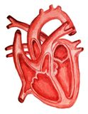 Μέρος της ανθρώπινης καρδιάς ανατομίας Diastole και systole Πλήρωση και άντληση του ανθρώπινου watercolor ανατομίας δομών καρδιών διανυσματική απεικόνιση