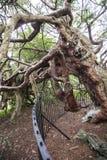 Μέρος του αρχαίου δέντρου του Harold βασιλιάδων yew στα βορειοδυτικά νεκροταφείων Crowhurst Hastings, ανατολικό Σάσσεξ, Αγγλία Στοκ Φωτογραφίες