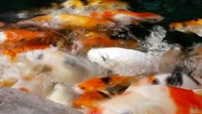 Μέρος του πεινασμένου πορτοκαλιού koi ψαριών στη λίμνη στην ηλιόλουστη θερινή ημέρα φιλμ μικρού μήκους