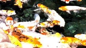 Μέρος του πεινασμένου πορτοκαλιού koi ψαριών στη λίμνη στην ηλιόλουστη θερινή ημέρα απόθεμα βίντεο