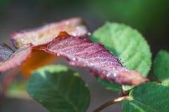 Μέρος του φύλλου αυξήθηκε με τις πτώσεις της δροσιάς. Στοκ φωτογραφία με δικαίωμα ελεύθερης χρήσης